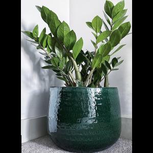 green ceramic plant pot,Zamioculcas zamiifolia plant, ZIzi plant, Zamioculcas zamiifolia in lon, buy Zamioculcas zamiifolia, a london brand Zamioculcas zamiifolia