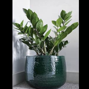 green ceramic plant pot, Zamioculcas zamiifolia plant, ZIzi plant, Zamioculcas zamiifolia in lon, buy Zamioculcas zamiifolia, a london brand Zamioculcas zamiifolia