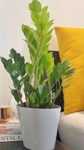 small Zamioculcas zamiifolia plant, ZIzi plant, Zamioculcas zamiifolia in lon, buy Zamioculcas zamiifolia, a london brand Zamioculcas zamiifolia