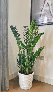 Zamioculcas zamiifolia plant, ZIzi plant, Zamioculcas zamiifolia in lon, buy Zamioculcas zamiifolia, a london brand Zamioculcas zamiifolia