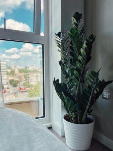 large Zamioculcas zamiifolia plant, ZIzi plant, Zamioculcas zamiifolia in lon, buy Zamioculcas zamiifolia, a london brand Zamioculcas zamiifolia